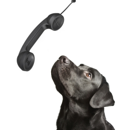 dog black labrador looks upwards on phone tube. isolated on whi